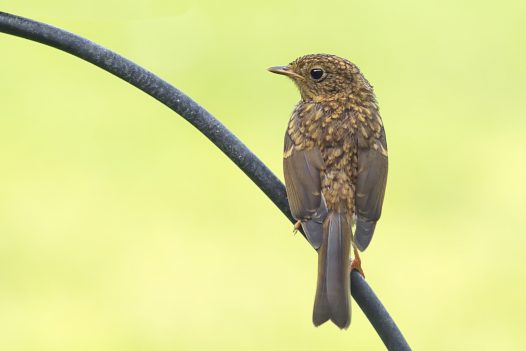 Young robin (I think)